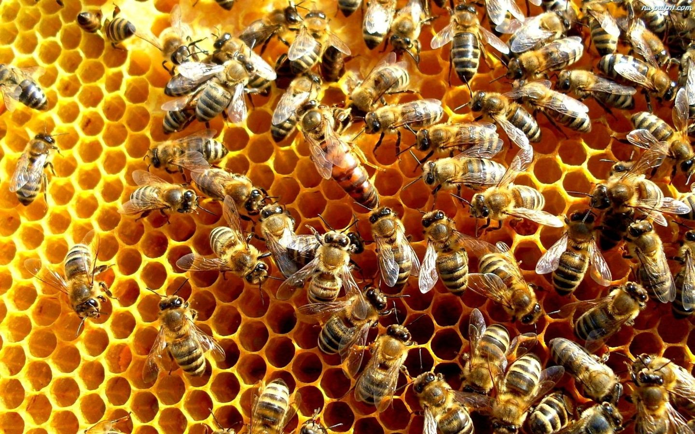 pszczoly-1440x900.jpeg